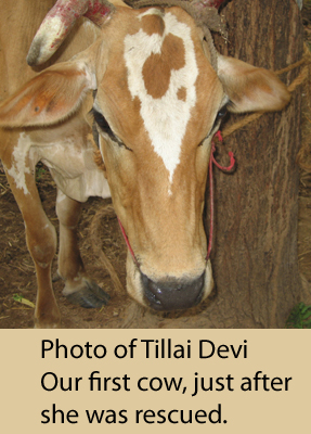 Our first cow saved! Her name: Tillai Devi